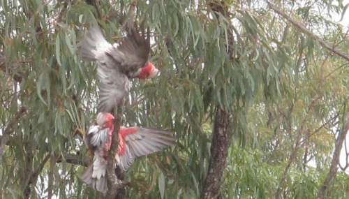 Birds of Millmerran